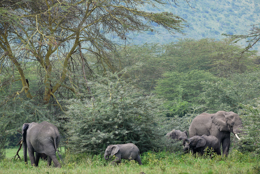 Elephants / Ngorongoro Crater