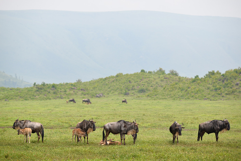 Wildebeests watching out for their newborn calves / Ngorongoro Crater