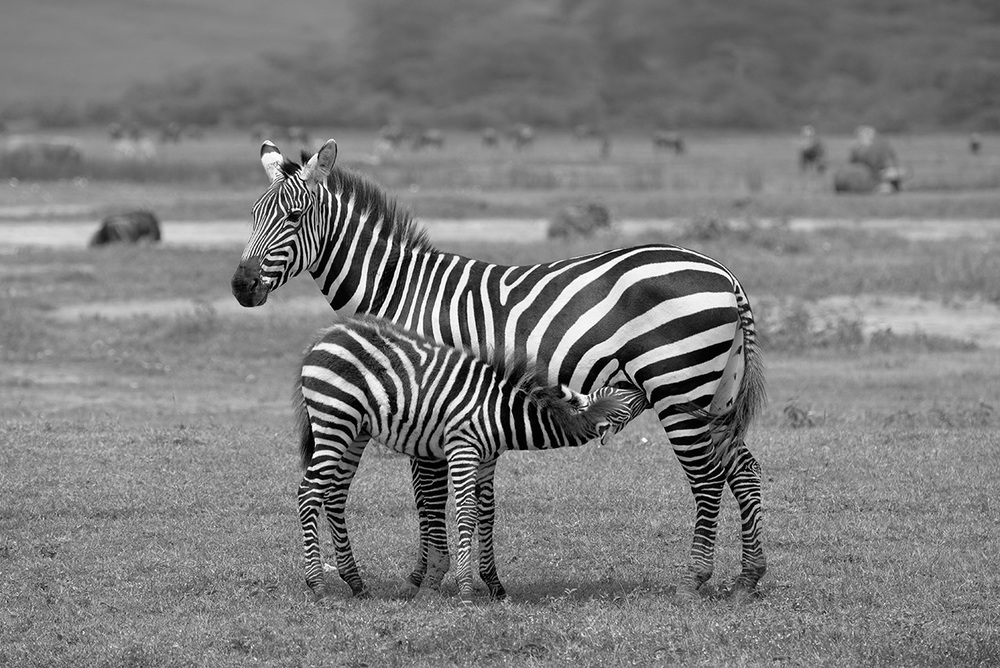 Zebra mother and offspring / Ngorongoro Crater