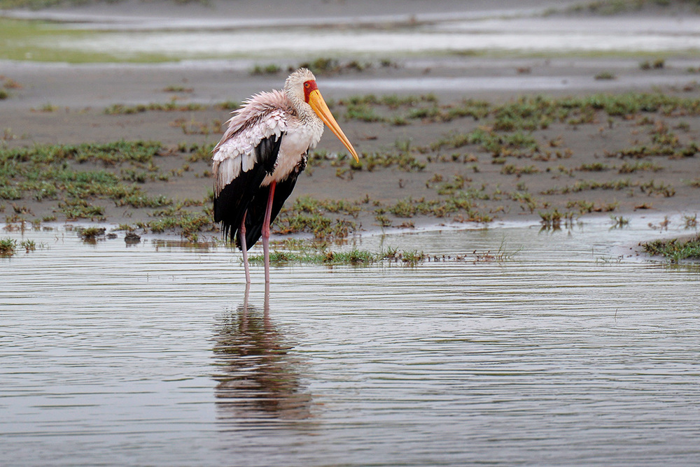 Yellow-billed stork / Serengeti