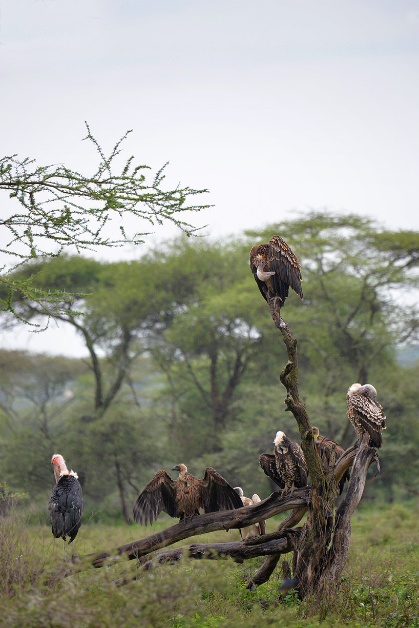 Maribou storks and White-backed vultures / Serengeti