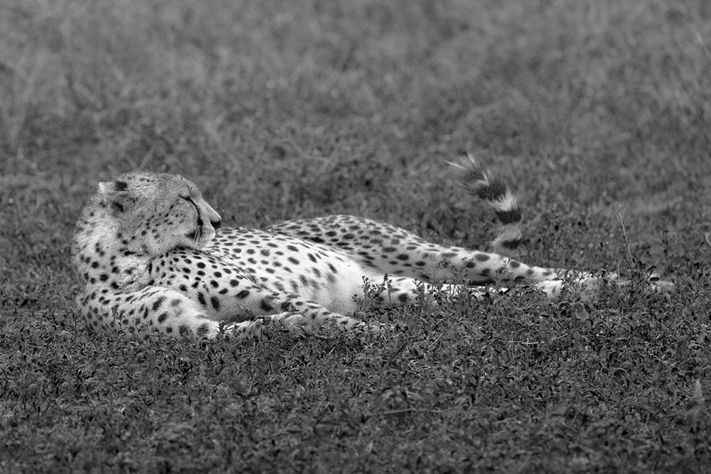 Cheetah / Serengeti