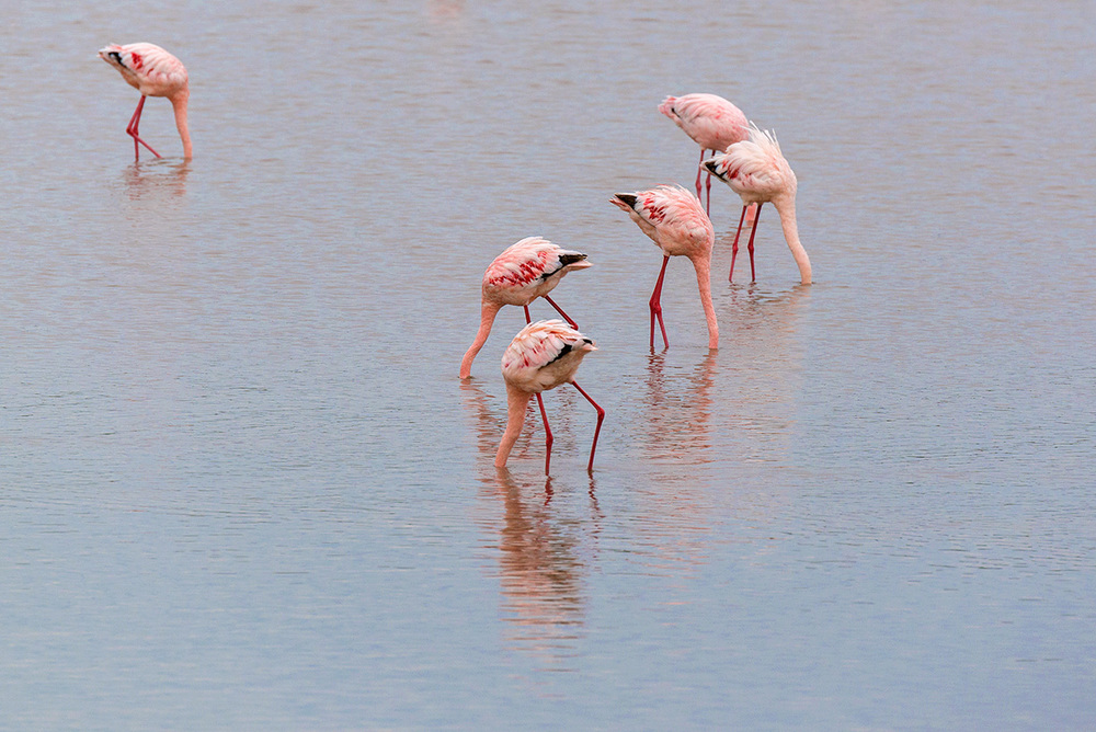 Flamingos / Serengeti