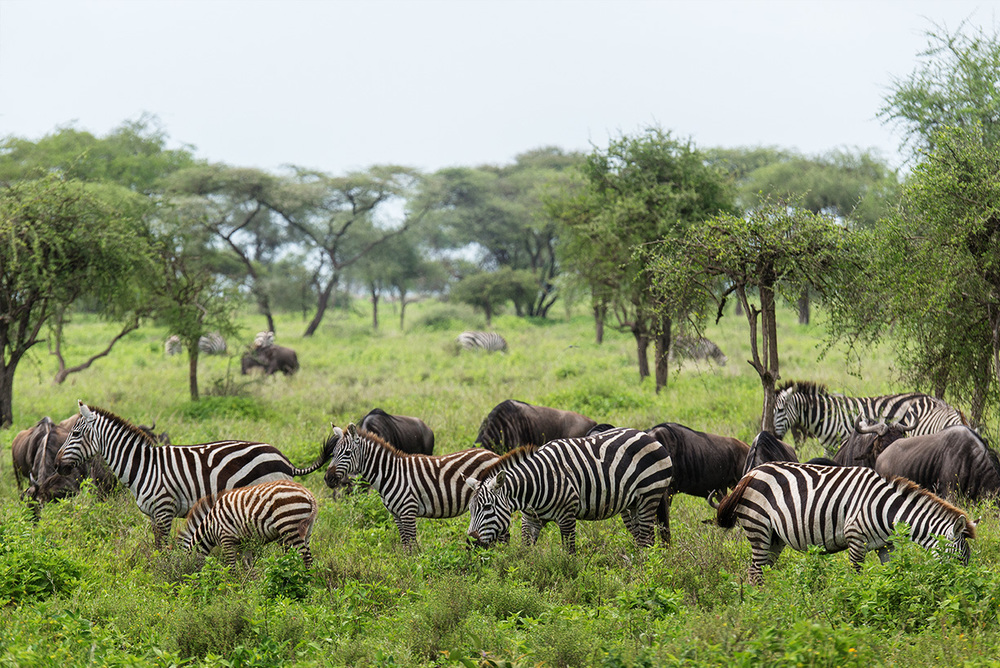 Zebras and Wildebeests often travel together / Serengeti