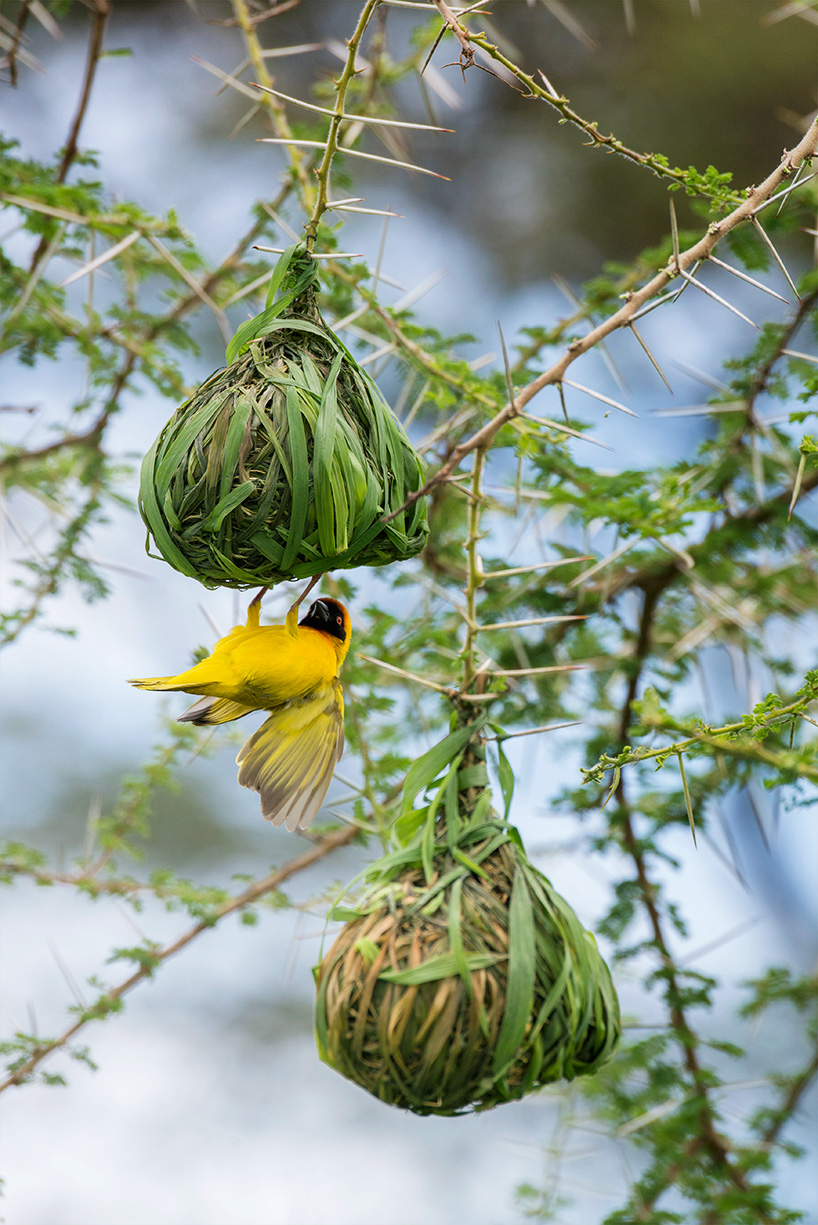 A male weaver bird building nests to attract a mate / Serengeti