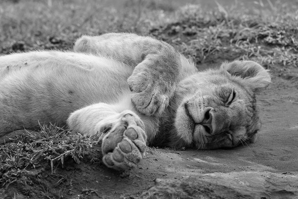 The lion sleeps today . . . / Serengeti