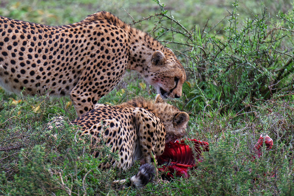 Two cheetahs share a kill / Serengeti