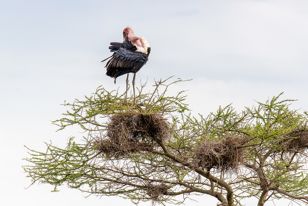A Maribou stork and its nest / Serengeti