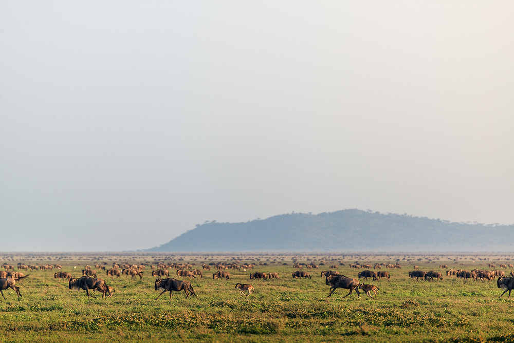 Wildebeests stampede in late afternoon / Serengeti