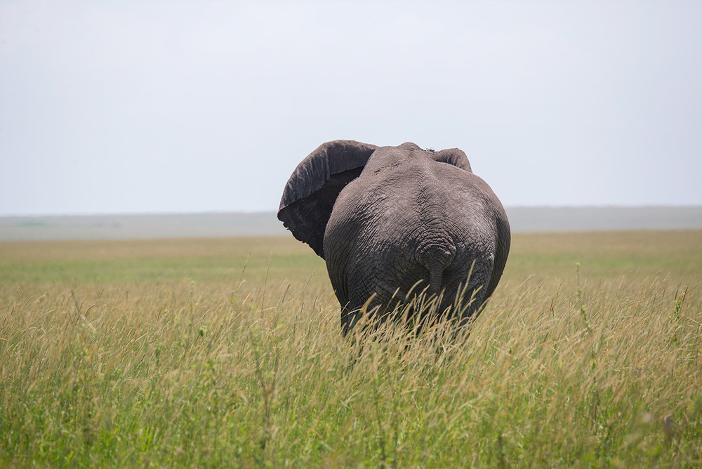 An elephant strides off into the tall grass / Serengeti