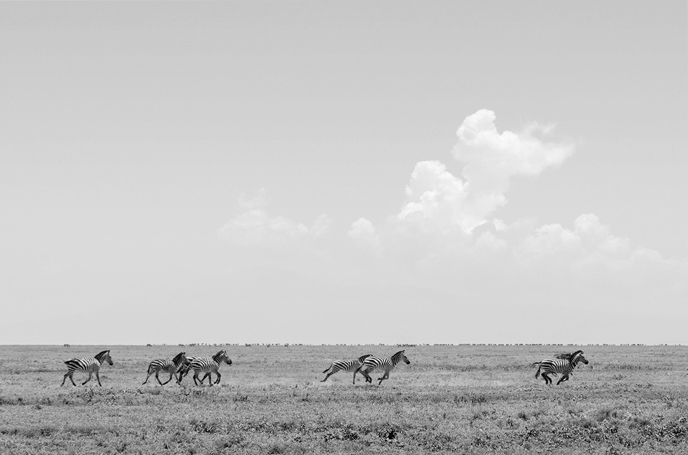Zebras race across the plain / Serengeti