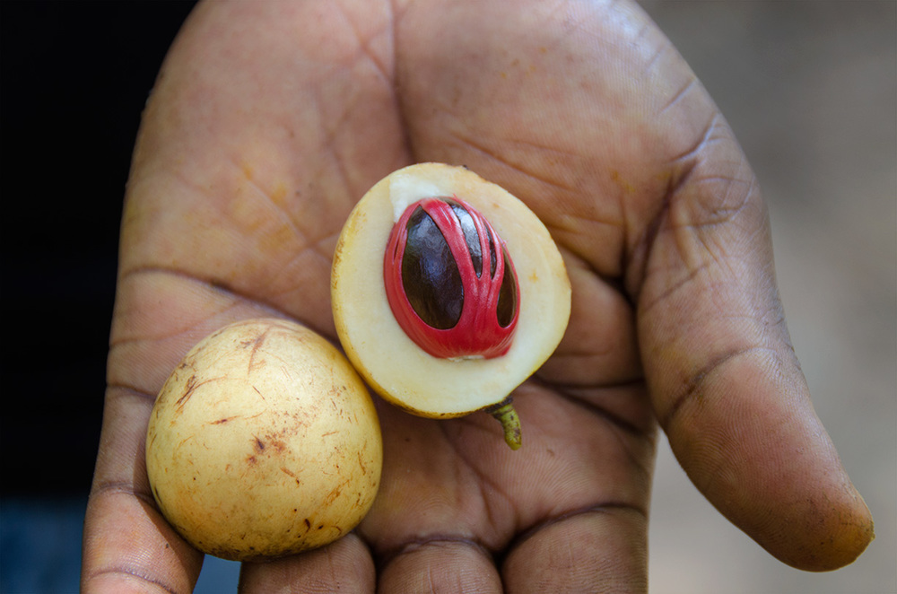 An open nutmeg fruit. The red tendrils around the nut are dried and ground to make mace. The nut is ground for the nutmeg spice.