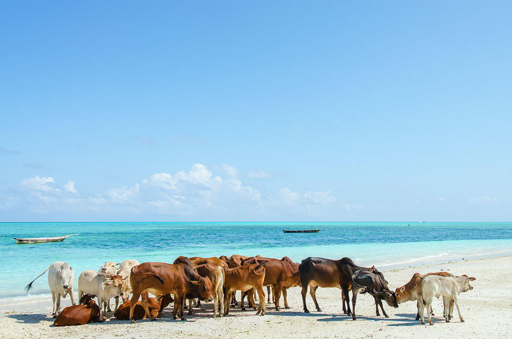 Cows on the beach, Nungwi