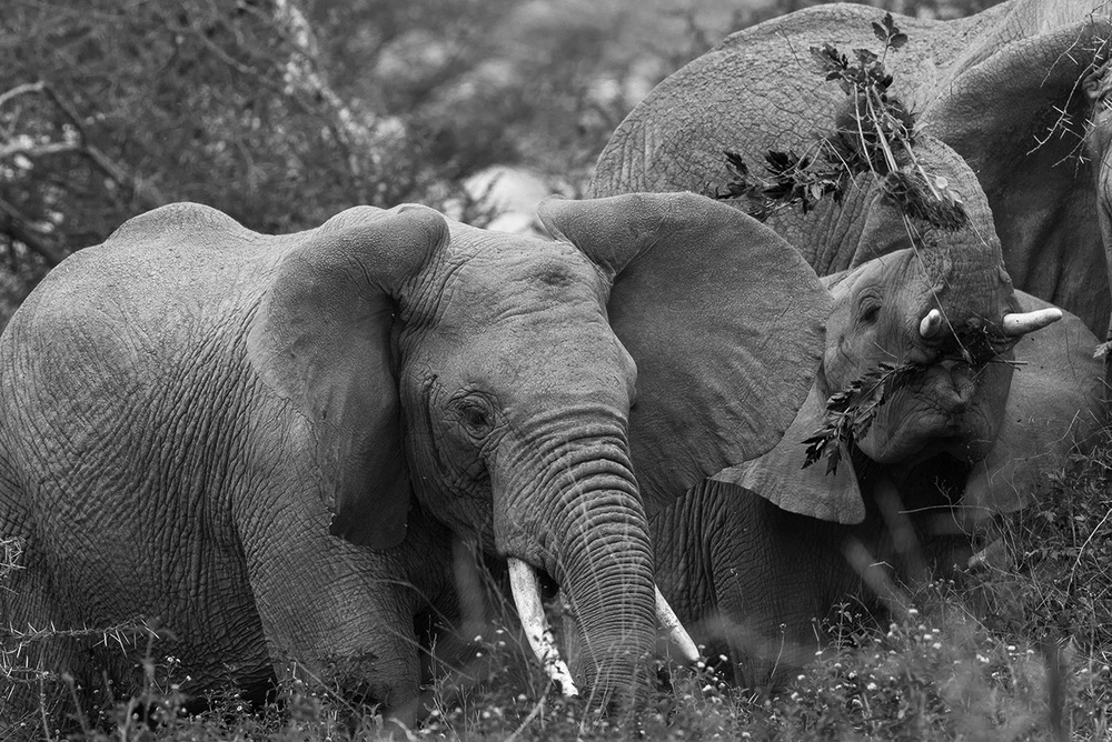 Elephants feeding / Serengeti