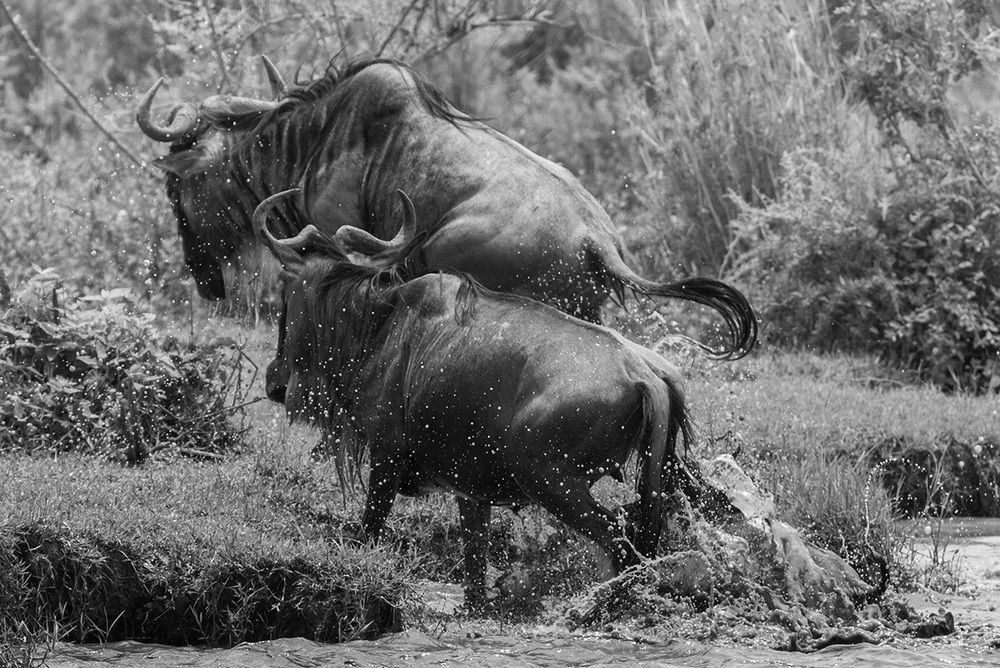 Wildebeests make a river crossing / Serengeti