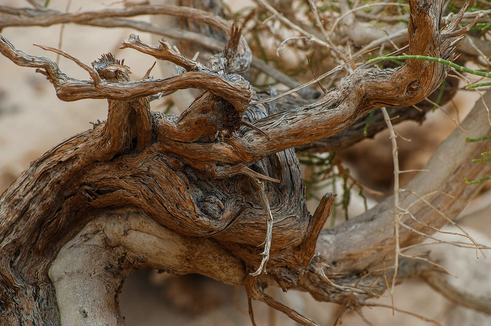 A twisted shrub in the southern desert