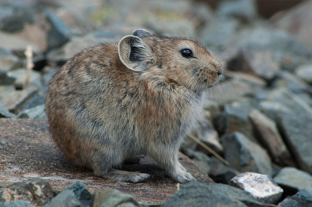 A  pika , a small animal found in many parts of the world. It is in the same family as rabbits. It is astonishing how well the animal's coat matches the colors in the surrounding rocks.
