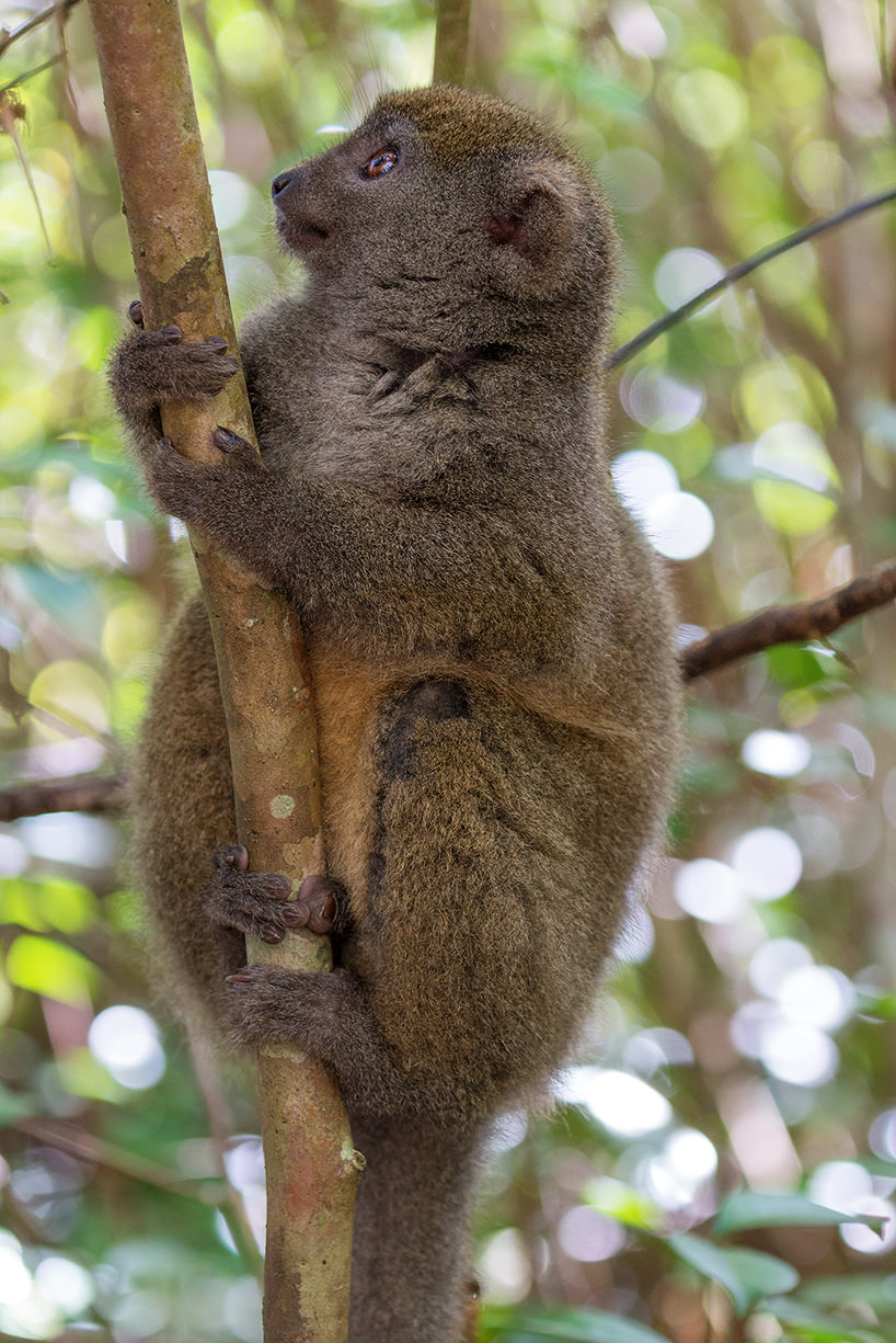 A Bamboo Lemur, in the Antisibe National Park