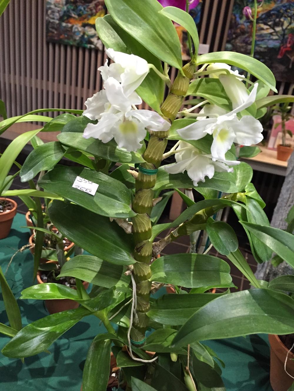 orchid norfolk botanical garden