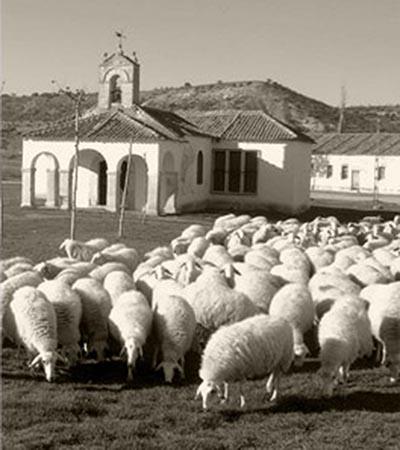 Pico Melero Sheep.jpg