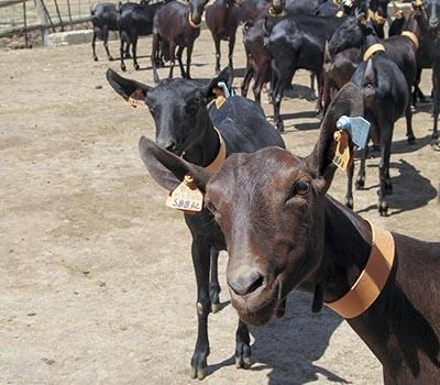 Murciana goats