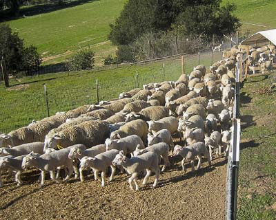 Sweet-Alyssum Sheep