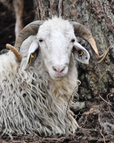 Loving the Alps: Basco-Bearnaise sheep