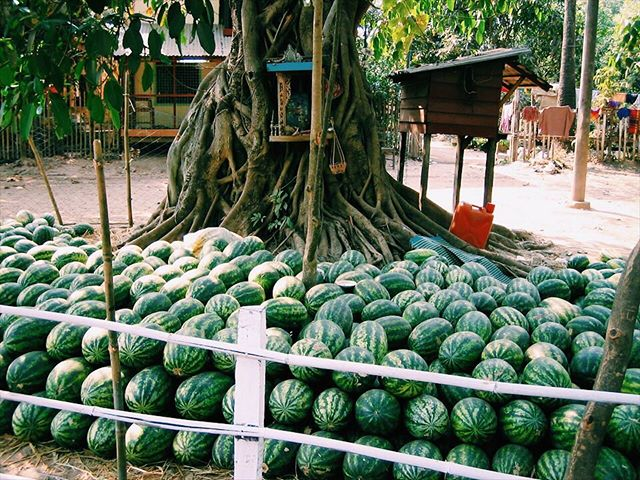 and here are some watermelons