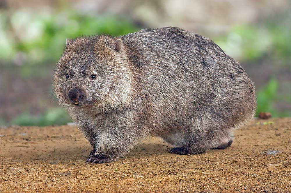 Tassie wombat