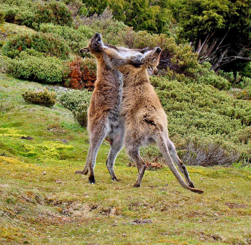 Friendly kangaroos?