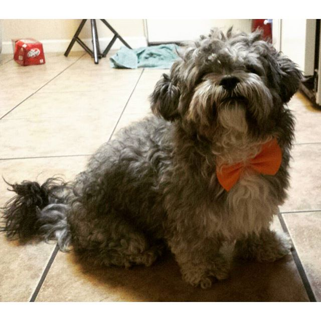 #ziggy with his new #tie #bowtie . #shihtzu #shihpoo #poodle #ready