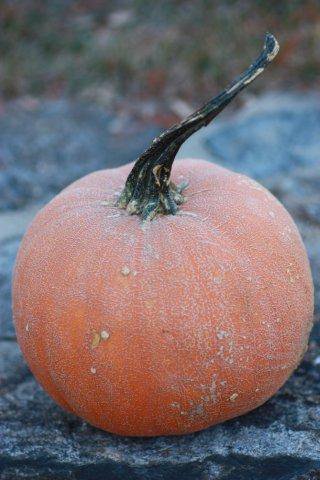 The super sweet pie pumpkin 'Winter Luxury' is a poor keeper but makes amazing pie. It's is a beautiful medium to small pumpkin with thin, netted skin and dense, sweet, orange flesh