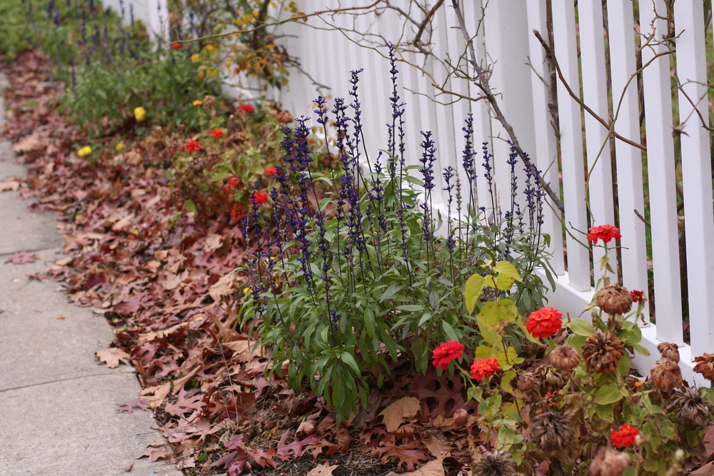 Leaves in beds can protect overwintering plants and even encourage tender perennials to survive.