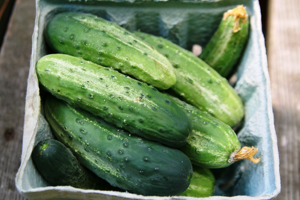 'Northern Pickling' cucumbers ready for canning