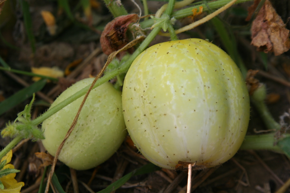 The unusual Lemon cucumbers are produced on heat-tolerant vines.