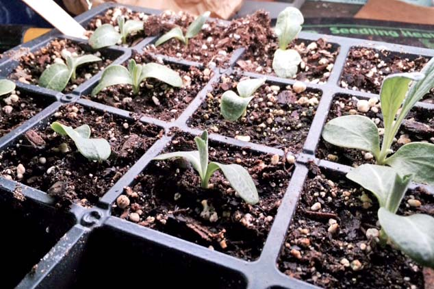 Two-week-old 'Imperial Star' artichoke seedlings just setting their true leaves.