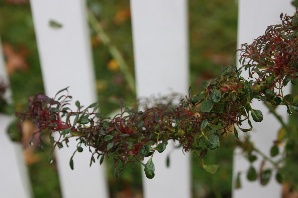 A rose branch with RRD.