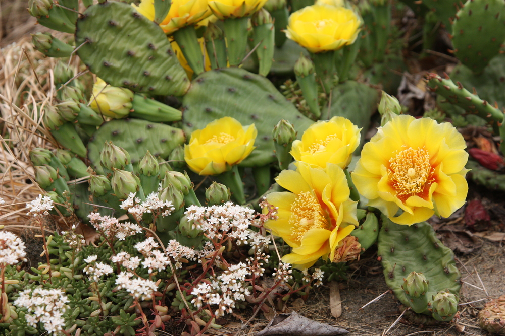 Sedum album and Opuntia humifusa bloom at the same time each year--around early June--and look lovely without additional care. Both continue to shine in the garden after bloom time.