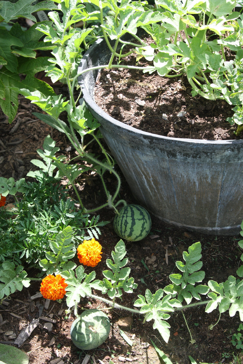 Watermelons growing from our half-barrel pot. Potatoes are growing on the other side.