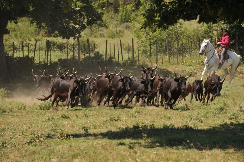 Taureaux de Camargue Domaine de la Foret
