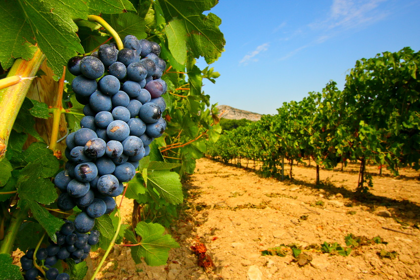 Raisins vins Camargue