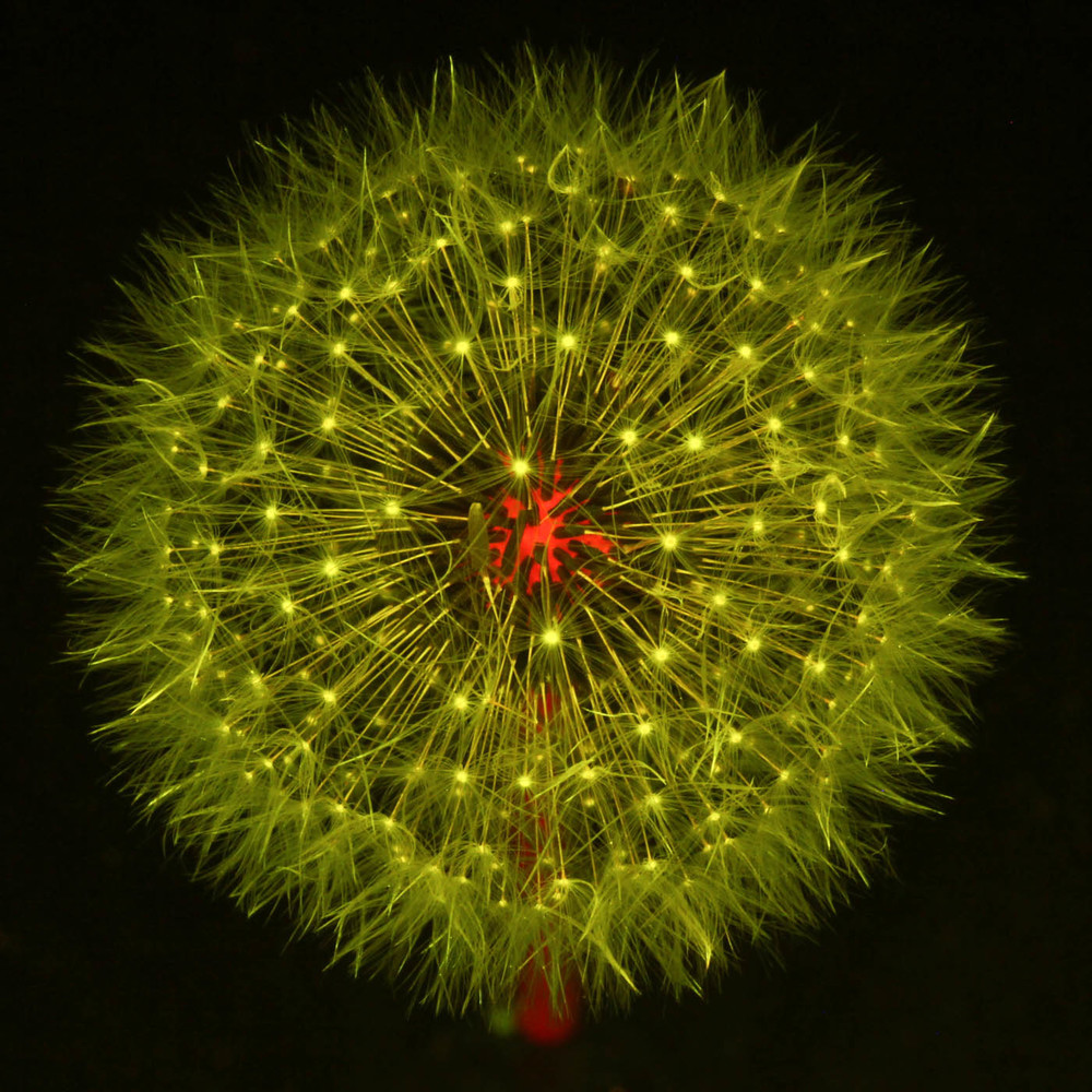 """Dandelion, Fluorescence"", High gloss metal print, 16""H x 16""W"