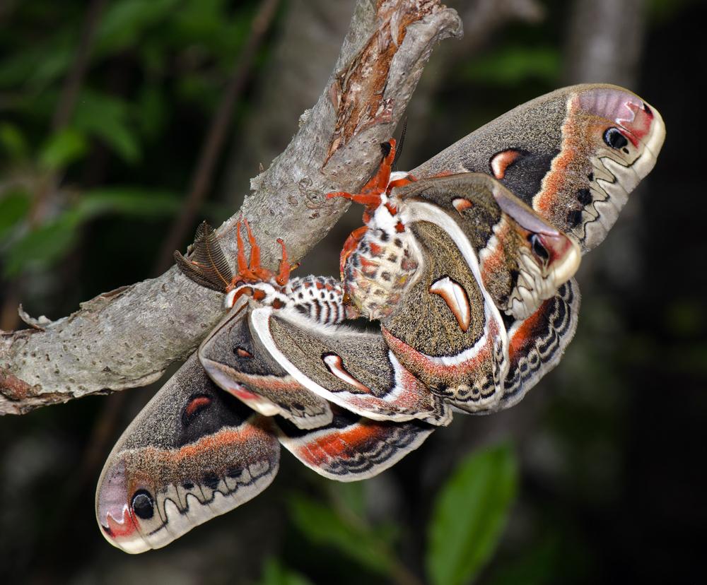 Cecropias Mating  (c) Bob Wilson