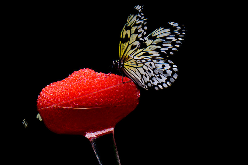 Red Nectar  (c) William Feiring