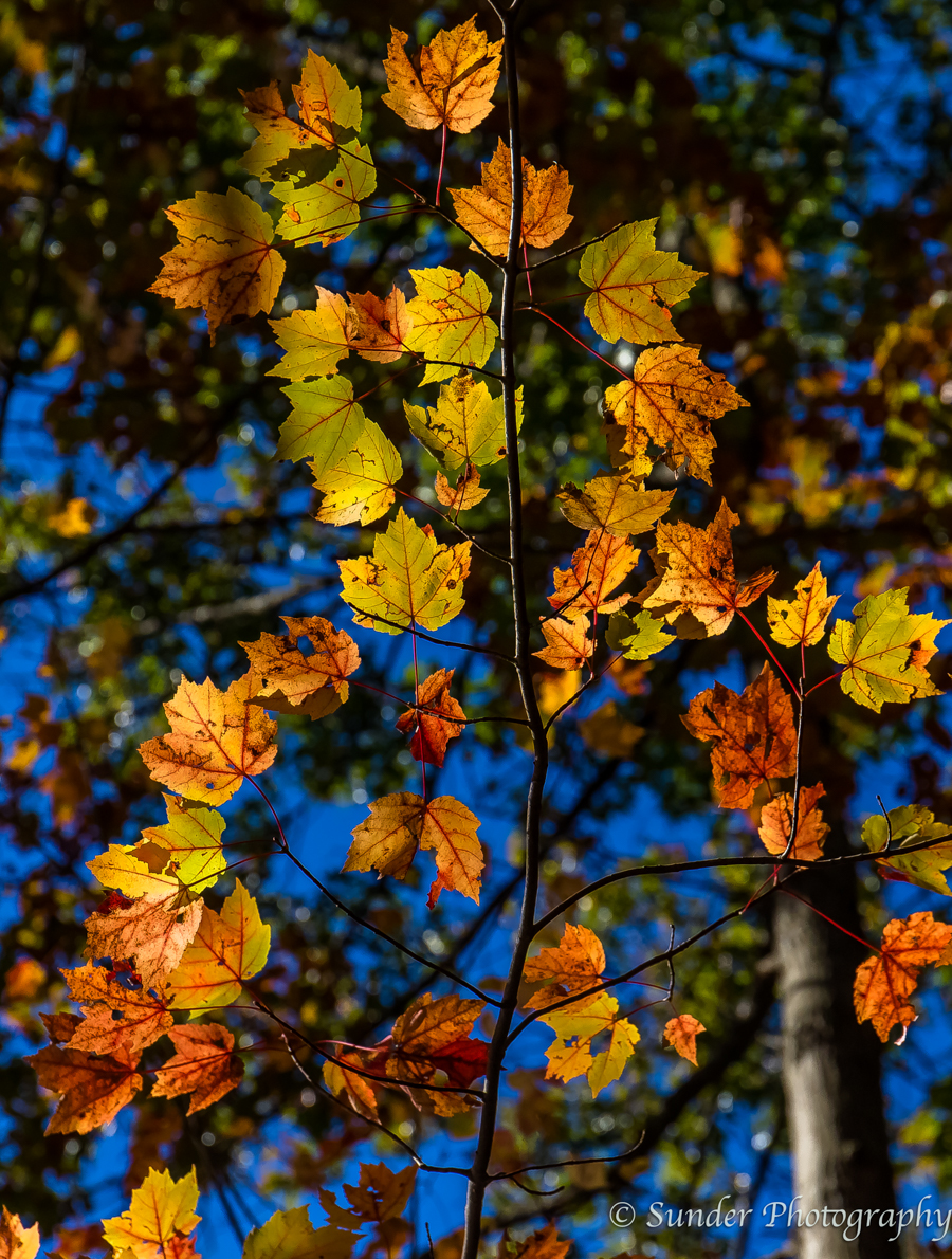 Maple Backlighting
