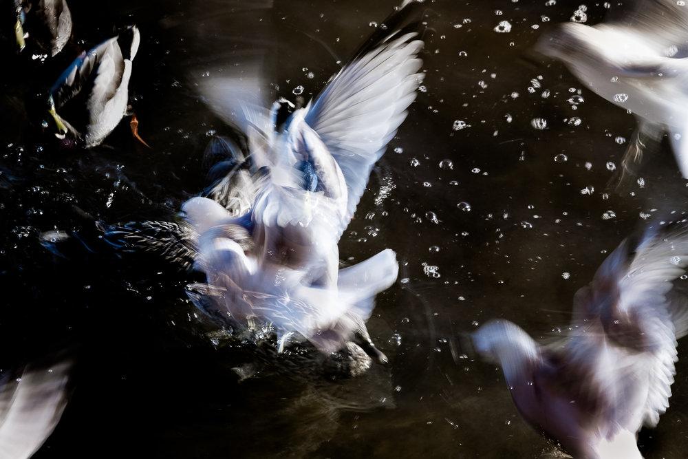 Pigeons, Lowell Esplanade 2016  (c) Deb Lannon