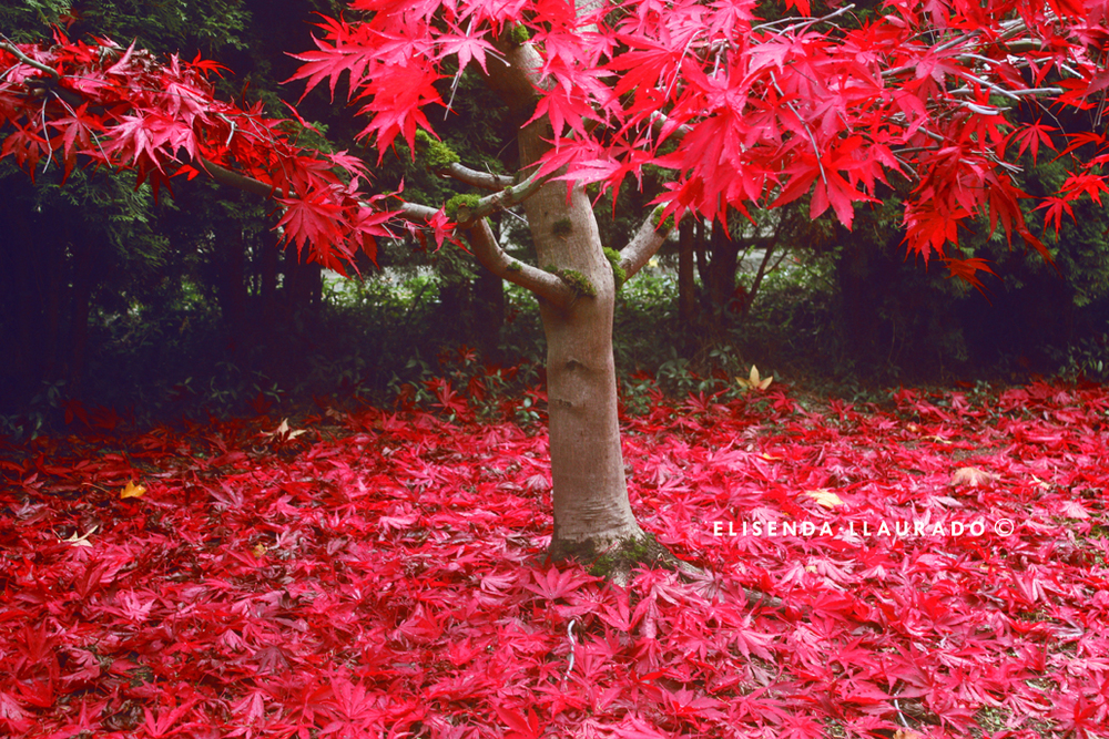 Magic Red tree, Fall 2011.