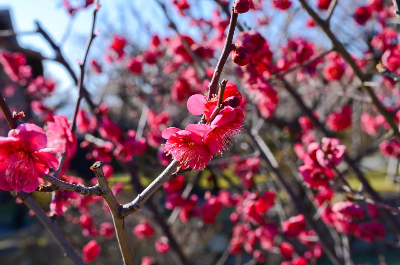 Perfect timing to see the ume blossoms at Unzen castle