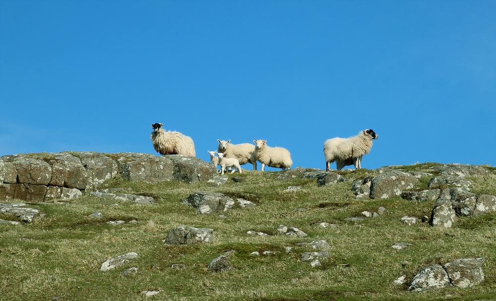 Sheep Edit 2.jpg