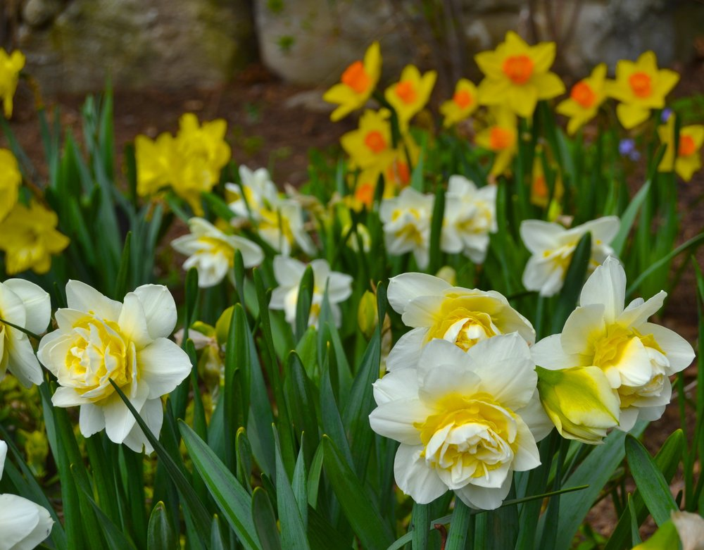 The First Spring Flowers are Bulbs Planted in the Fall
